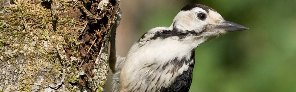 White-backed woodpecker (Dendrocopos leucotos*) Photo: Nikos Petrou